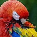 Macaws Of Color26 by Rob Hans