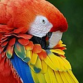 Macaws Of Color28 by Rob Hans