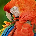 Macaws Of Color29 by Rob Hans