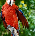 Macaws Of Color30 by Rob Hans
