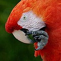 Macaws Of Color32 by Rob Hans