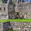Machu Picchu - Grazing Lamas by Jon Berghoff