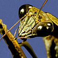 Macro Closeup Of The Chinese Praying Mantis Cleaning Himself After Eating A Live Cricket by Leslie Crotty