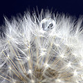 Macro Dandelion by Mark Duffy