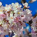 Macro Dc Cherry Blooms by Jeff at JSJ Photography