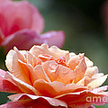 Macro Orange And Pink Floribunda Rose by Terri Winkler
