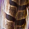 Macro Pheasant by Andrea Goodrich