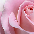 Macro Pink Rose Flower Raindrop by Jennie Marie Schell