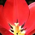 Macro Tulip 2 by Barbara S Nickerson