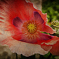 Mad For Poppy by Terry Rowe