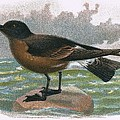 Madeira Petrel by English School