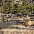 Madison River Elk by D Robert Franz