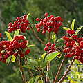 Madrone Berries by Bob Phillips