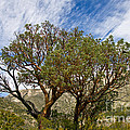 Madrone Trees by Bob Phillips