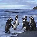 Magellanic Penguin Trio On Beach by Hiroya Minakuchi