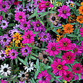 Magenta Daisies by Dee Flouton