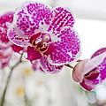 Magenta Ears Orchid by Maj Seda