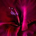 Magenta Gladiola Flower by Jennie Marie Schell