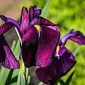 Magenta Iris by Jane Luxton