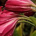 Magenta Rain by Greg Allore