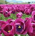 Magenta Tulips by James Kramer