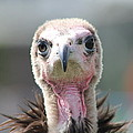 Maggee The Hooded Vulture by Vicki Spindler
