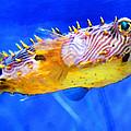 Magic Puffer - Fish Art By Sharon Cummings by Sharon Cummings