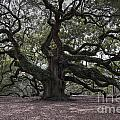 Magical Angel Oak by Dale Powell
