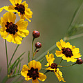 Magical Coreopsis Tinctoria Wildflowers by Kathy Clark