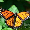 Magical Monarch by Susan Herber