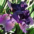 Magical Purple Iridescent  Iris by De Ann  Troen