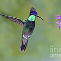 Magnificant Hummingbird by Anthony Mercieca