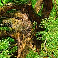 Magnificent Angel Oak by Louis Dallara