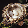 Magnificent Hummingbird Eggs by Gerry Ellis