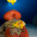 Magnificent Red Anemone With Anemone Fish by Dray Van Beeck