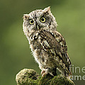 Magnifique  Eastern Screech Owl by Inspired Nature Photography Fine Art Photography