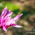 Magnolia 2 by Judi Bagwell