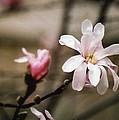 Magnolia Blooms by Kay Novy