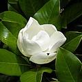 Magnolia Blossom  by Cheryl Hardt Art