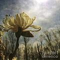 Magnolia Blossom by Chris Scroggins