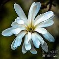 Magnolia Blossom by Grace Grogan