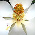 Magnolia Blossom by Karen Beasley