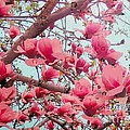 Magnolia Blossoms In Spring by Janette Boyd