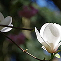 Magnolia Blossoms by Marilyn Wilson
