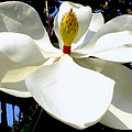 Magnolia Carousel by Karen Wiles