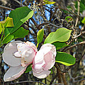 Magnolia Flower by Deborah Good