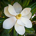 Magnolia Flower by Inge Johnsson