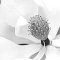 Magnolia Flower Macro by Sabrina L Ryan