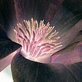 Magnolia Flower - Photopower 1825 by Pamela Critchlow