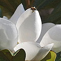 magnolia Glory  by Rima Biswas